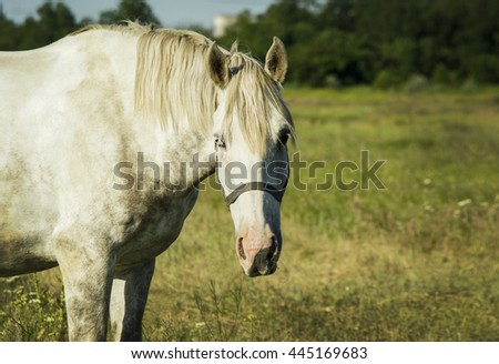 white horse with light mane standing in a field on the green grass