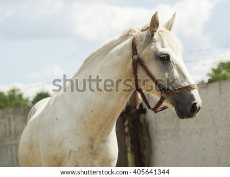 white horse with light mane walks in the paddock on the sand near the fence