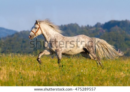 White horse with long mane run