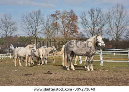 White horses grazing in the corral in Czech Republic. Detailed Picture of the white horse outside on the pasture land in the spring. Breed of horse is Kladrubsky horse one of oldest races in Europe. - stock photo
