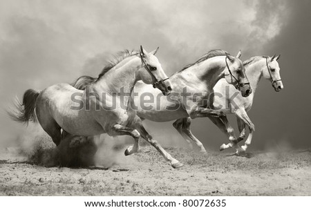 white horses in dust - stock photo