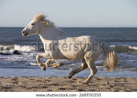 White horses of Camargue France - stock photo