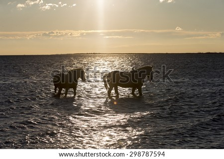 White horses of Camargue France backlite by rising sun - stock photo