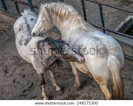 White horses playing and biting each other's backs in byre - stock photo