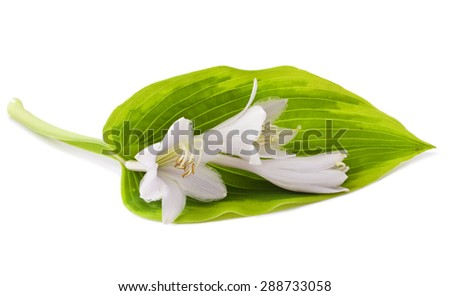 White Hosta flower isolated on white