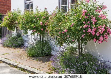 white house with rose bushes and lavender / rose bushes / summer flowers