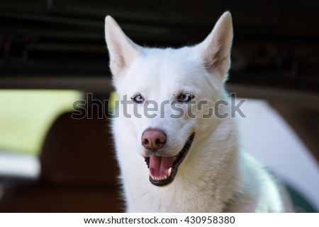 White Husky with blue squint-eyes. Sled dog sport dog