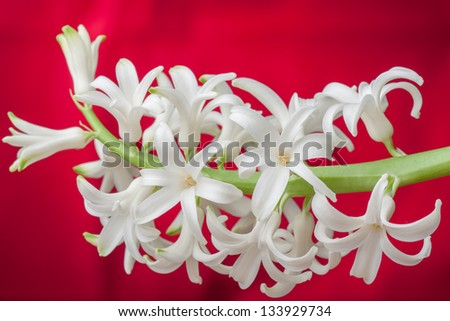 White hyacinth flowers - stock photo