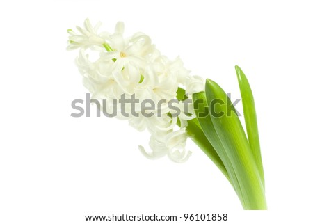 white hyacinth flowers isolated on white background