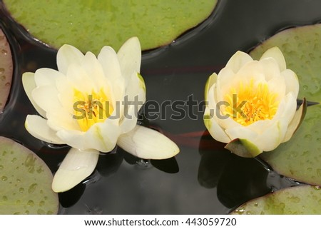 "White hybrid ""Waterlily Gladstoniana"" flower in St. Gallen, Switzerland. Its Latin name is Nymphaea Gladstoniana."