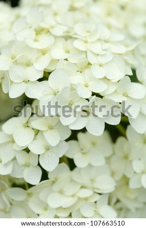 white hydrangea - stock photo