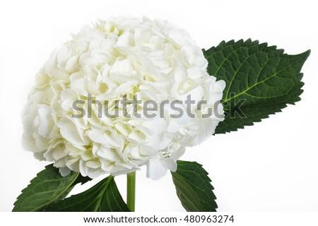 white hydrangea flowers - White Hydrangea