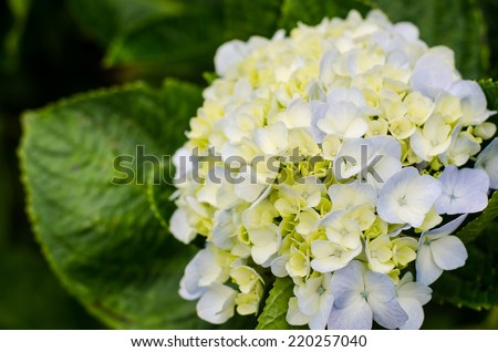 White Hydrangea in the garden. - stock photo