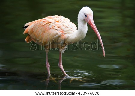 White ibis (Eudocimus albus) is a wading bird that is bathed in water - stock photo