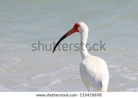 White Ibis (Eudocimus albus) on Sanibel Island in Florida - stock photo
