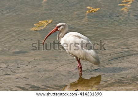 White Ibis wading and feeding in a southern pond - stock photo