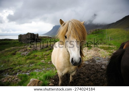 White icelandic horse with long hair looking in the camera, Hofn, West Iceland - stock photo