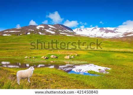 White Icelandic sheep grazing in the meadow. Summer Iceland. Small lake surrounded by green meadow