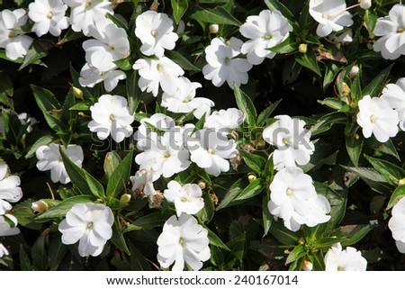 White Impatients flowers surrounded by green leaves - stock photo