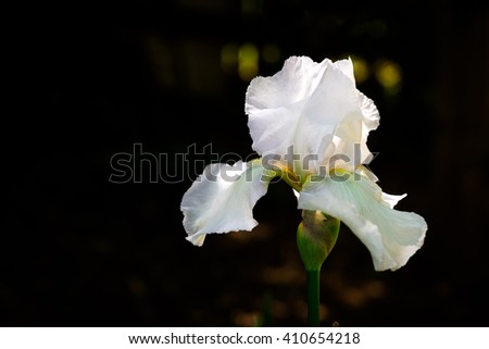 White iris blooming flower lit by sun light over black background with free space