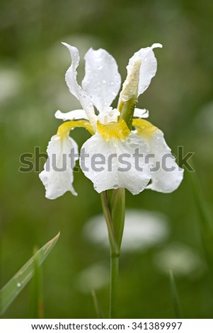 white iris flower closeup with water drops on the petals