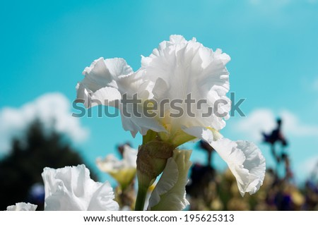 white iris flower on turquoise sky background with clouds