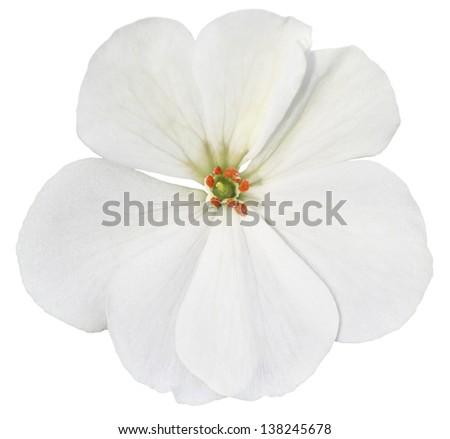 White isolated flower - stock photo