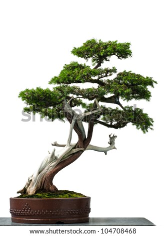 White isolated old temple juniper as bonsai tree - stock photo