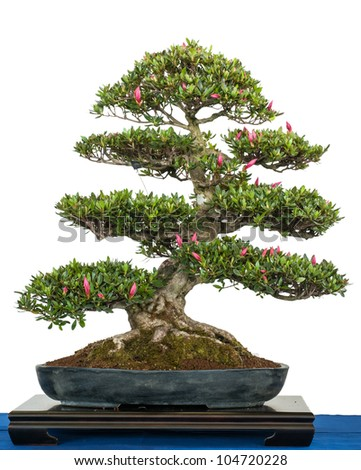 White isolated rhododendron indicum as blooming bonsai tree