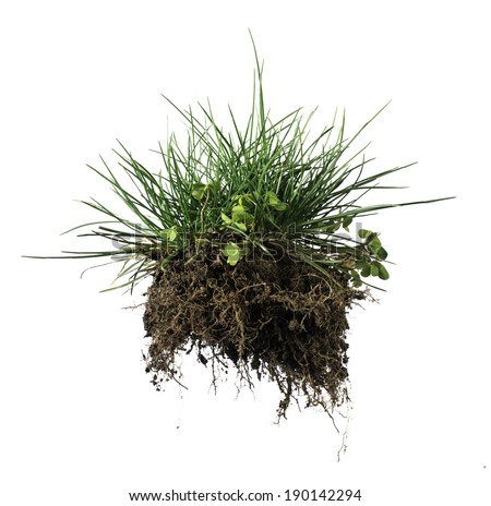 White isolated turf grass and earth. Rhizome - stock photo