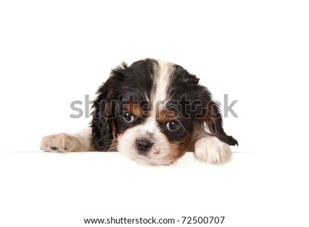 White isolated 6 weeks old king charles puppy dog - stock photo