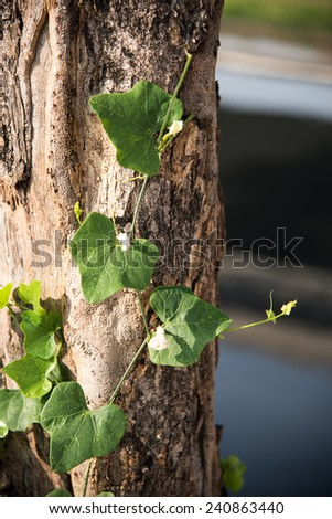 white ivy Gourd flower under bright sunlight with green backgound and trunk tree - stock photo