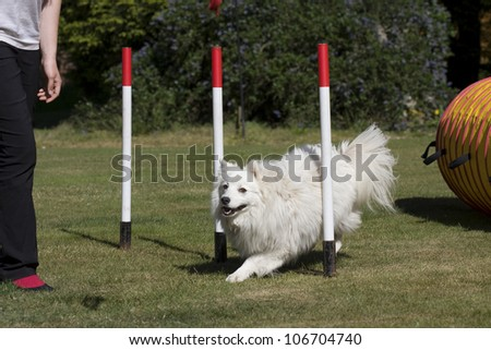White Japanese Spitz dog learning how to train weave poles to be able to compete in agility competition. - stock photo