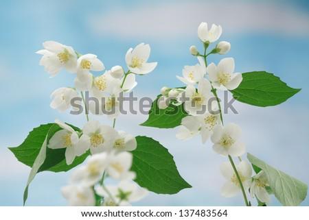 White jasmin flowers sprig against blue sky - stock photo