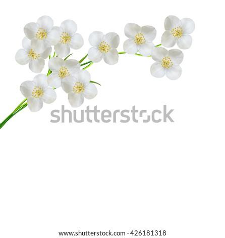 White jasmine flower.  branch of jasmine flowers isolated on white background.  - stock photo