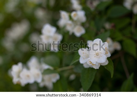 White jasmine flowers on a green bush