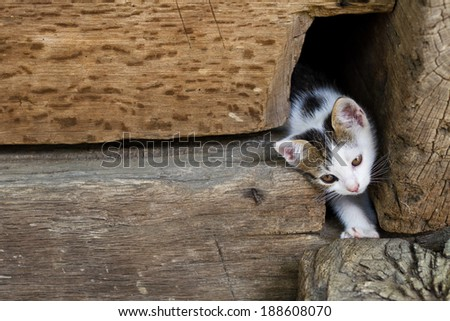 White kitten is getting out through a hole in the wooden walls - stock photo