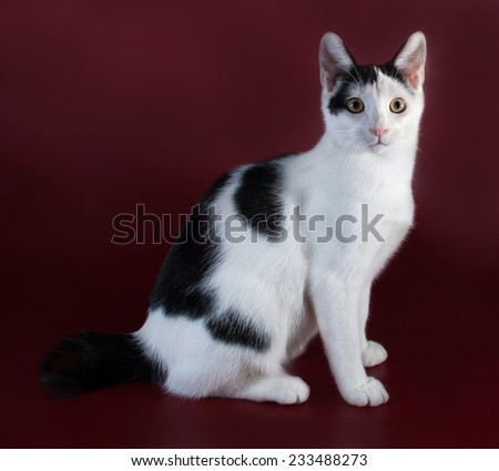 White kitten teenager with black spots  standing on burgundy background