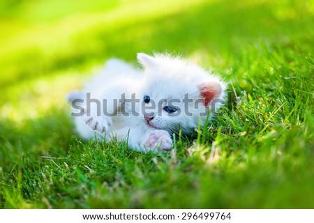 white kitten walking on the grass - stock photo