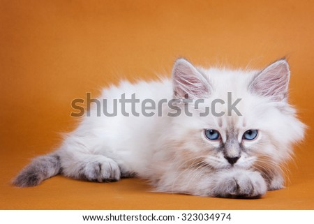 White kitten with blue eyes on an orange background - stock photo