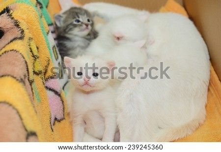White kitten with white Mummy and other kittens - stock photo