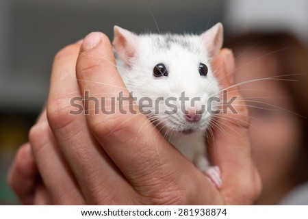 White lab rat in a palm - stock photo