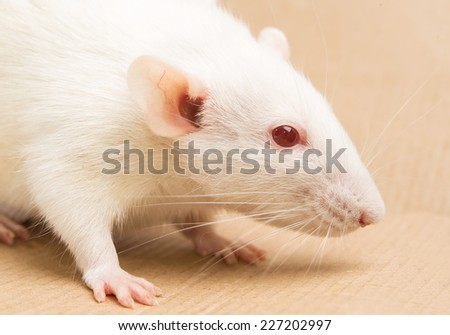 white laboratory rat
