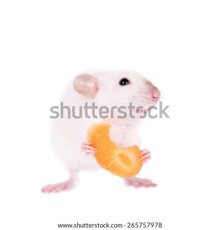 White laboratory rat eating carrot isolated on white background - stock photo