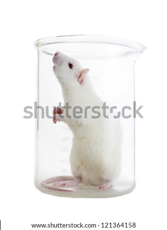 White laboratory rat in chemical flask - stock photo