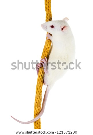 White laboratory rat Sprague Dawley rats on a thick rope - stock photo
