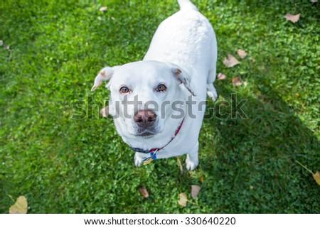 White labrador playing outside - stock photo