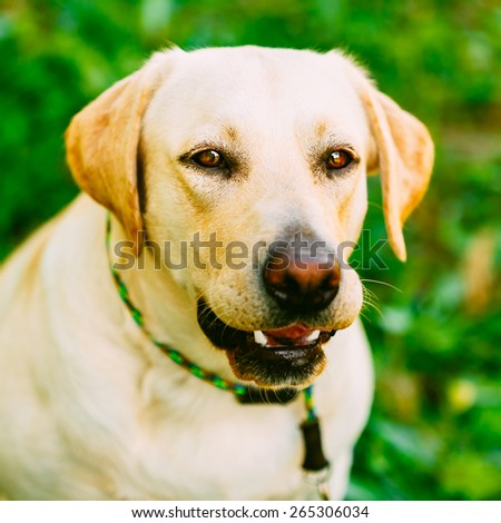 White Labrador Retriever Dog Standing And Barking On Green Grass Background - stock photo