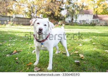 White labrador standing outside