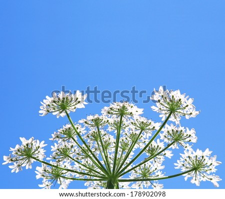white lace flower - stock photo